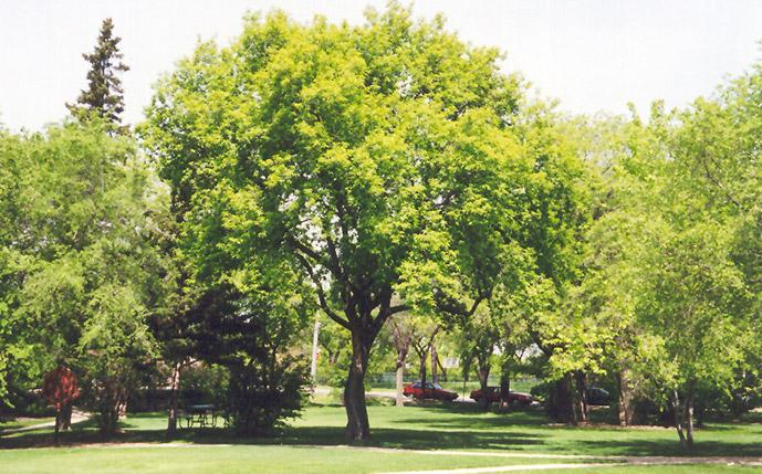 Boxelder acer negundo in ottawa nepean kanata for Arboles para jardin que den sombra