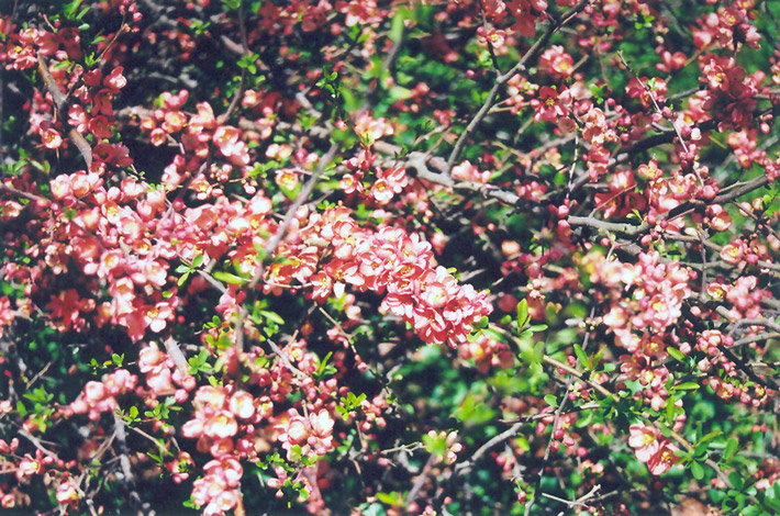 Common Flowering Quince (Chaenomeles speciosa) in Ottawa ...