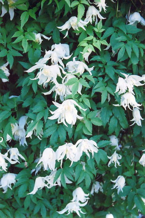 White Swan Clematis (Clematis 'White Swan') in Ottawa ...