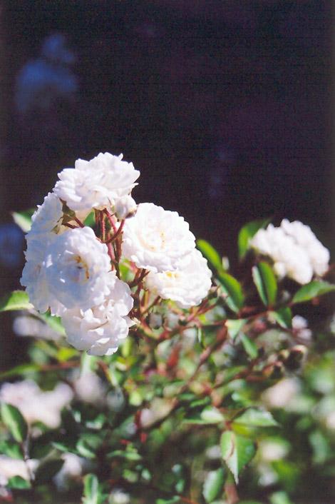 white meidiland rose rosa 39 white meidiland 39 in ottawa. Black Bedroom Furniture Sets. Home Design Ideas