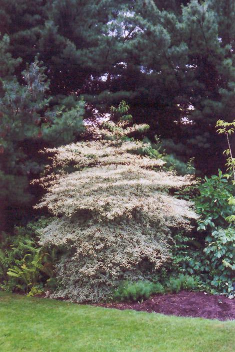Variegated Pagoda Dogwood (Cornus alternifolia 'Argentea ... Variegated Dogwood Tree