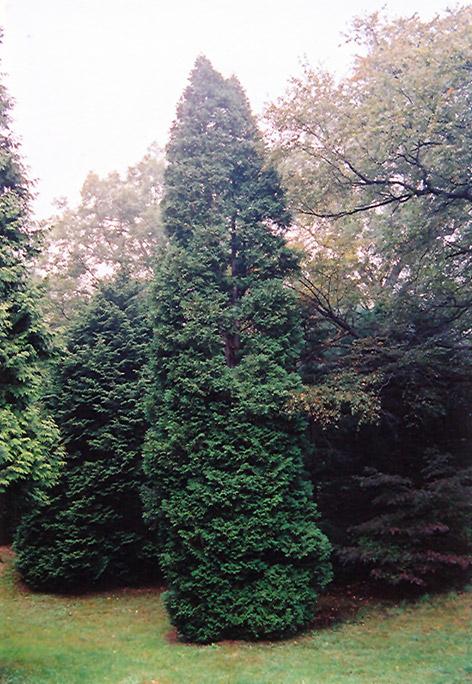 Winter green tree
