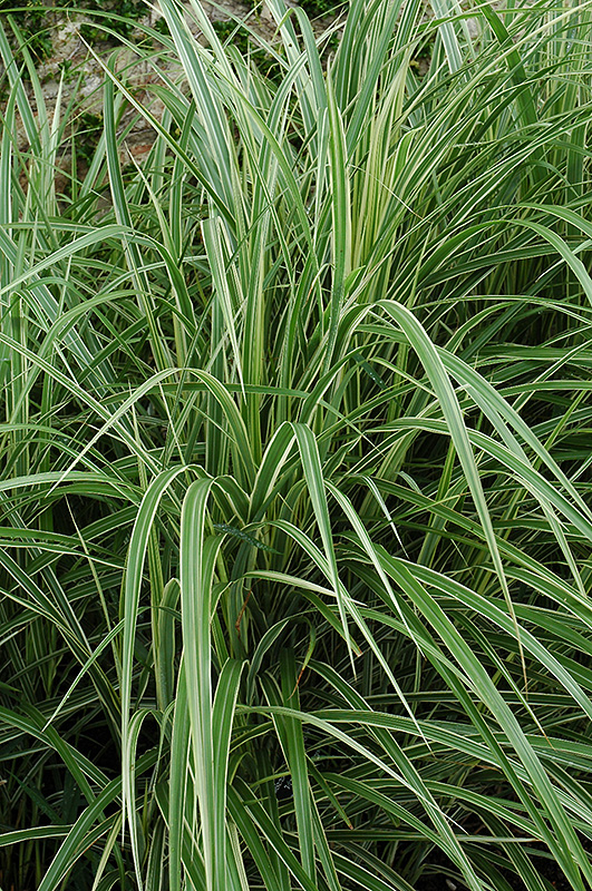 Variegated silver grass miscanthus sinensis 39 variegatus for Variegated ornamental grass varieties