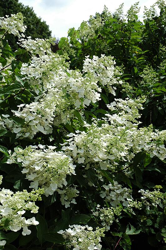 Unique hydrangea hydrangea paniculata 39 unique 39 in ottawa for Unusual small trees