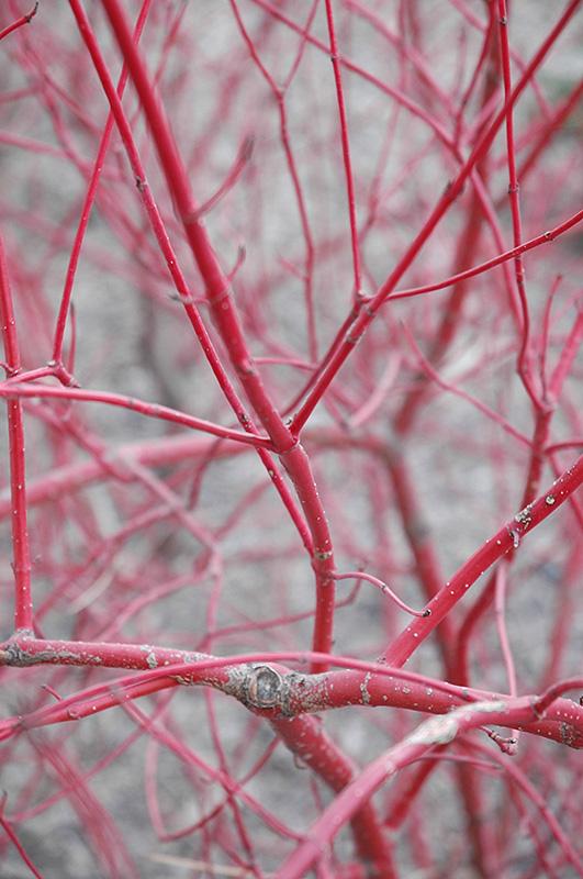Siberian Dogwood Cornus Alba Sibirica In Ottawa Nepean