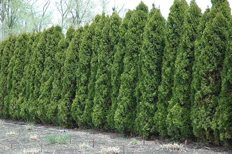 White cedar tree hetz wintergreen white cedar thuja occidentalis