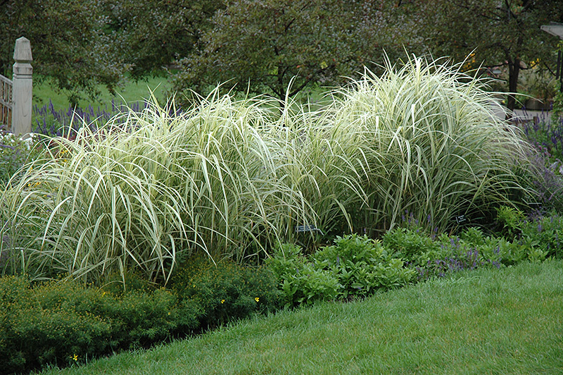 Variegated silver grass miscanthus sinensis 39 variegatus for Japanese ornamental grass