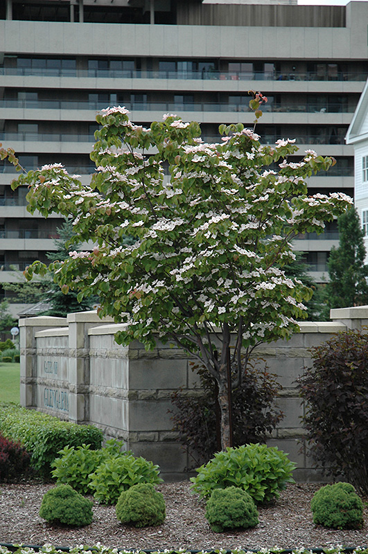 Flowering Dogwood Cornus Florida In Ottawa Nepean Kanata