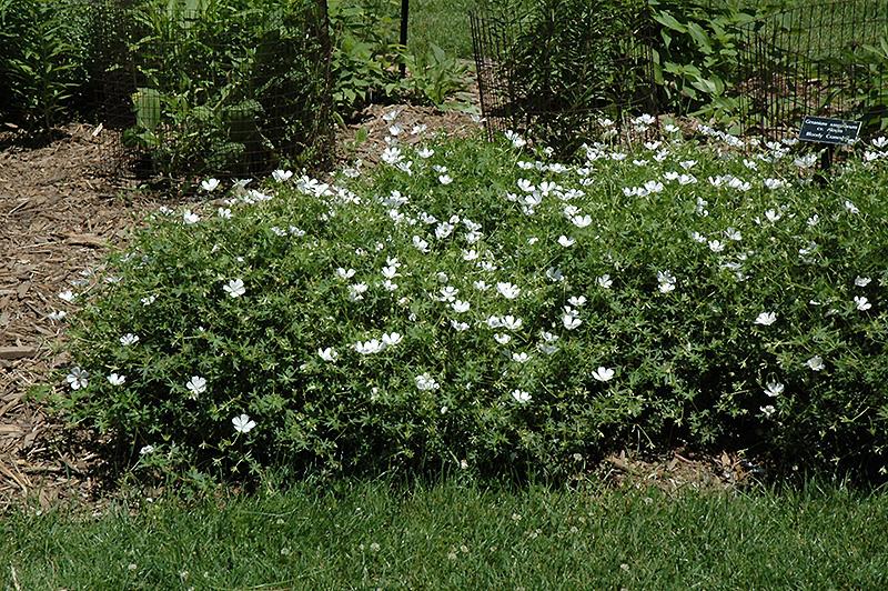 white cranesbill geranium sanguineum 39 album 39 in ottawa nepean kanata stittsville gatineau. Black Bedroom Furniture Sets. Home Design Ideas
