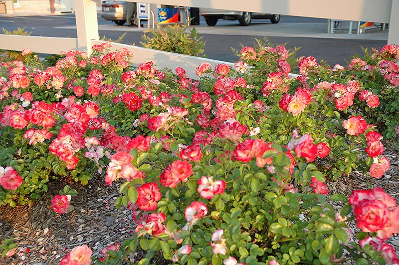 Flower Carpet Coral Rose Rosa Flower Carpet Coral In