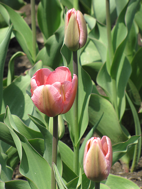 Design Impression Tulip (Tulipa