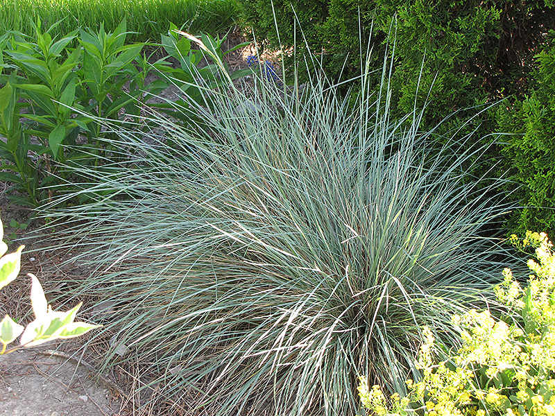 Picture of Live Blue Oat grass aka Helictotrichon sempervirens Grass Plant Fit 1 Gallon Pot