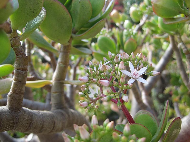 Jade Plant Crassula Ovata In Ottawa Nepean Kanata Stittsville