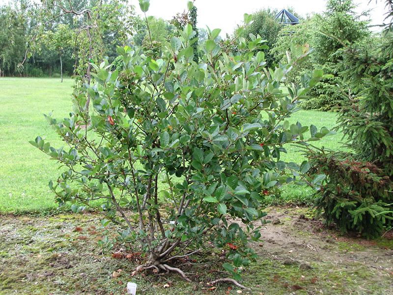 viking chokeberry aronia x prunifolia 39 viking 39 in ottawa. Black Bedroom Furniture Sets. Home Design Ideas