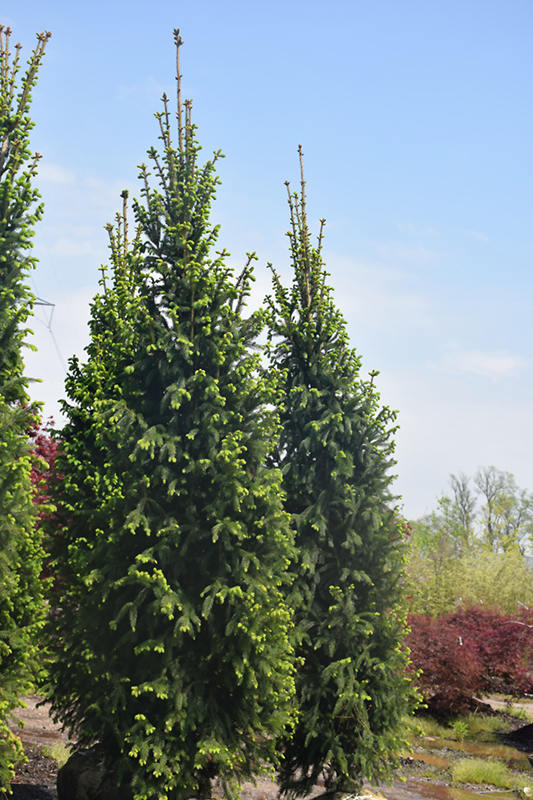 Christina Columnar Spruce Picea Abies Christina In