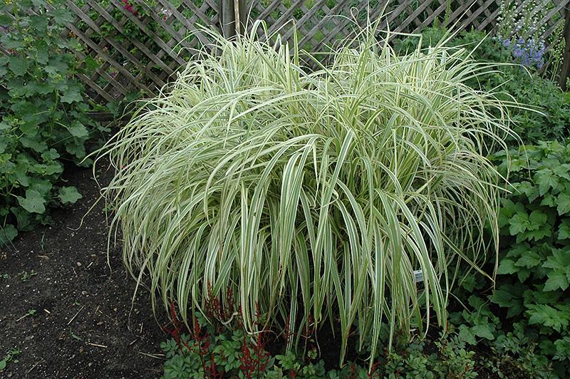 Dixieland maiden grass miscanthus sinensis 39 dixieland for Maiden grass