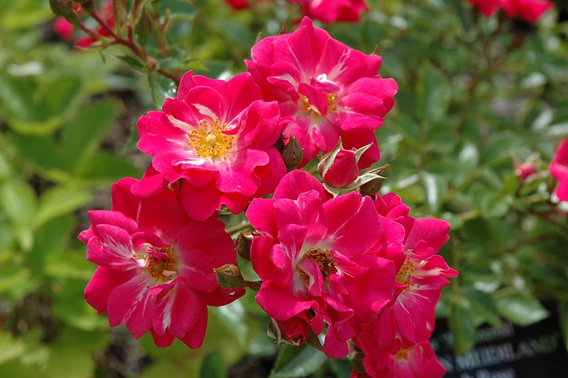 crimson meidiland rose rosa 39 meizerbil 39 in ottawa. Black Bedroom Furniture Sets. Home Design Ideas