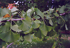 Ginkgo (Ginkgo biloba) at Make It Green Garden Centre
