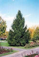 Norway Spruce (Picea abies) at Make It Green Garden Centre