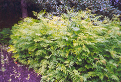 False Spirea (Sorbaria sorbifolia) at Make It Green Garden Centre