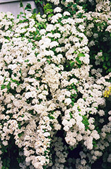 Vanhoutte Spirea (Spiraea x vanhouttei) at Make It Green Garden Centre