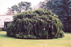 Weeping Hemlock (Tsuga canadensis 'Pendula') at Make It Green Garden Centre