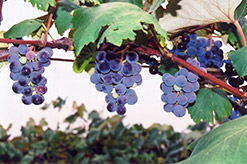 Concord Grape (Vitis 'Concord') at Make It Green Garden Centre