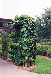Dutchman's Pipe (Aristolochia macrophylla) at Make It Green Garden Centre