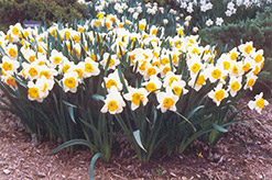 Sound Daffodil (Narcissus 'Sound') at Make It Green Garden Centre