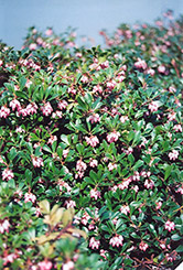 Vancouver Jade Bearberry (Arctostaphylos uva-ursi 'Vancouver Jade') at Make It Green Garden Centre