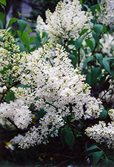 Mount Baker Lilac (Syringa x hyacinthiflora 'Mount Baker') at Make It Green Garden Centre