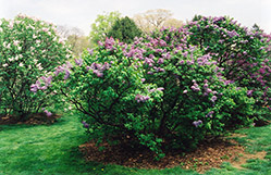 Asessippi Lilac (Syringa x hyacinthiflora 'Asessippi') at Make It Green Garden Centre