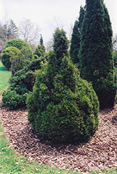 Brabant Arborvitae (Thuja occidentalis 'Brabant') at Make It Green Garden Centre