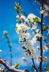 Mount Royal Plum (Prunus 'Mount Royal') at Make It Green Garden Centre