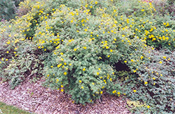 Yellow Gem Potentilla (Potentilla fruticosa 'Yellow Gem') at Make It Green Garden Centre