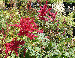 Glow Astilbe (Astilbe x arendsii 'Glow') at Make It Green Garden Centre