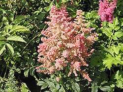 Country and Western Astilbe (Astilbe 'Country And Western') at Make It Green Garden Centre