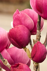 Black Tulip Magnolia (Magnolia 'Black Tulip') at Make It Green Garden Centre