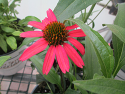 Glowing Dream™ Coneflower (Echinacea 'Glowing Dream') at Make It Green Garden Centre