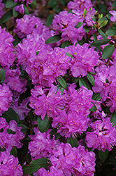 Compact P.J.M. Rhododendron (Rhododendron 'P.J.M. Compact') at Make It Green Garden Centre