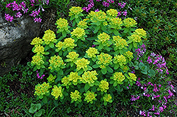 Cushion Spurge (Euphorbia polychroma) at Make It Green Garden Centre
