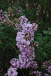 Cutleaf Lilac (Syringa x laciniata) at Make It Green Garden Centre
