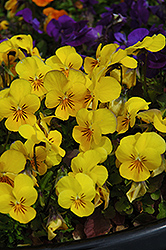 Penny Yellow Pansy (Viola cornuta 'Penny Yellow') at Make It Green Garden Centre