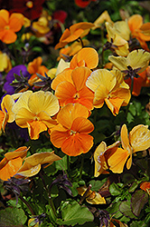 Penny Orange Pansy (Viola cornuta 'Penny Orange') at Make It Green Garden Centre