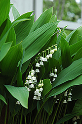 Lily-Of-The-Valley (Convallaria majalis) at Make It Green Garden Centre