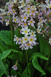 Cortusa Primrose (Primula cortusoides) at Make It Green Garden Centre