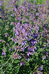Walker's Low Catmint (Nepeta x faassenii 'Walker's Low') at Make It Green Garden Centre