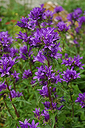 Clustered Bellflower (Campanula glomerata) at Make It Green Garden Centre