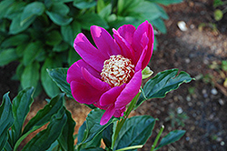 Barrington Belle Peony (Paeonia 'Barrington Belle') at Make It Green Garden Centre
