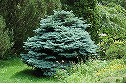 Globe Blue Spruce (Picea pungens 'Globosa') at Make It Green Garden Centre